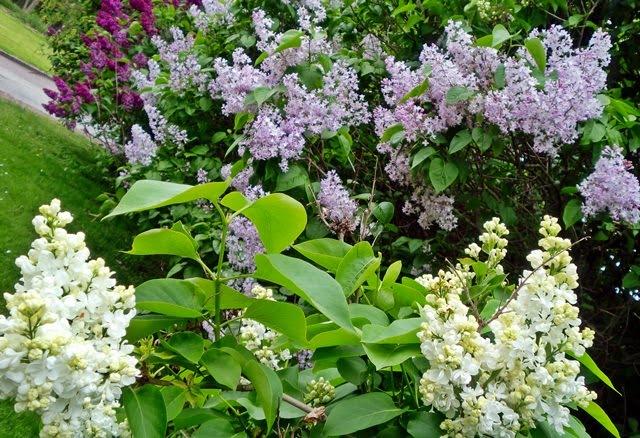 syren-lilac